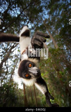 Noir et blanc la gélinotte lemur (Le Varecia variegata), de Madagascar, gravement menacés Banque D'Images