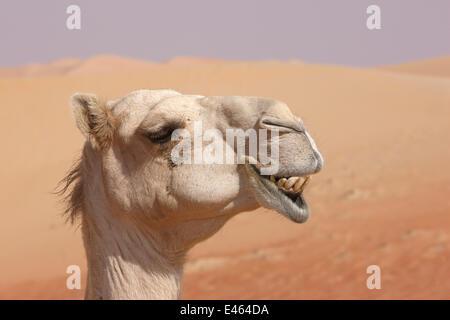 Le dromadaire / chameau d'Arabie (Camelus dromedarius) close-up profile de face montrant les dents, dans le désert, Banque D'Images