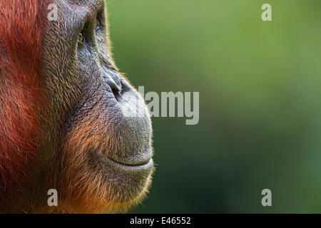 Orang-outan (Pongo pygmaeus) wurmbii «femme Tutut' tête portrait. Camp Leakey, parc national de Tanjung Puting, Banque D'Images