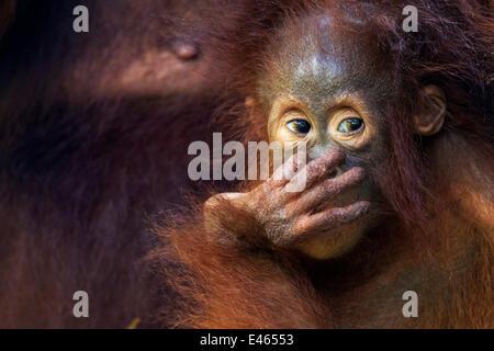 Orang-outan (Pongo pygmaeus) wurmbii bébé femelle 'Petra' âgés de 12 mois. Camp Leakey, parc national de Tanjung Banque D'Images