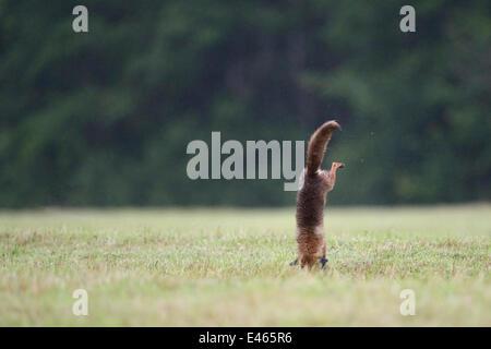 Le renard roux (Vulpes vulpes) en sautant sur sa proie dans le champ. Lorraine, France, juin. Banque D'Images