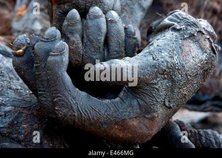 Gorille de l'ouest (Gorilla gorilla) rompu et fumé de mains et pieds. Le tabagisme est la méthode habituellement Banque D'Images