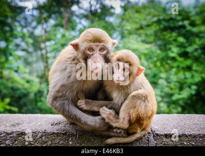 Macaque à Guiyang, Chine. Banque D'Images