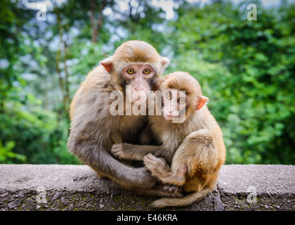Macaque à Guiyang, Chine Banque D'Images