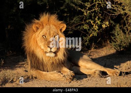 Grand mâle African lion (Panthera leo) reposant, Afrique du Sud Banque D'Images
