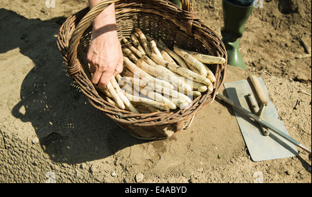 Allemagne, Hesse, Lampertheim, premier agriculteur asperge Asparagus officinalis, coupe, close-up Banque D'Images