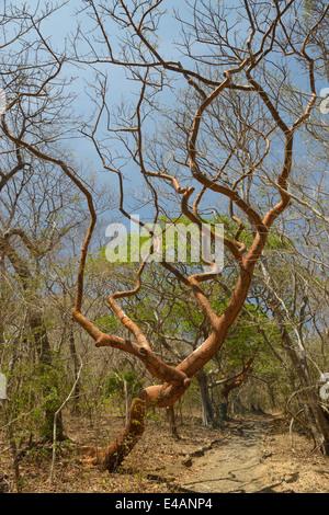Gumbo Limbo-arbre, Bursera simaruba, Parc National Santa Rosa, Province de Guanacaste, Costa Rica Banque D'Images