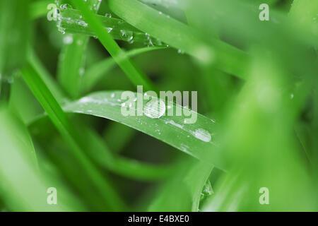 Gouttes de pluie sur les brins d'herbe verte