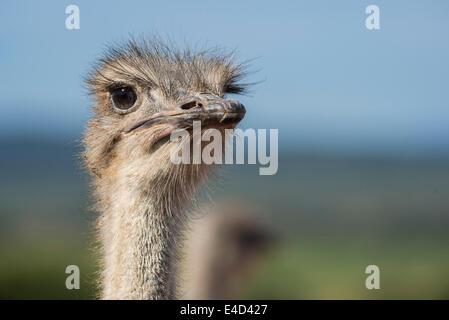 Autruche (Struthio camelus), Little Karoo, Western Cape, Afrique du Sud