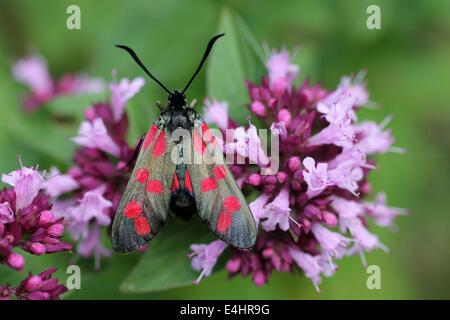 Six-spot Burnet Moth Zygaena filipendulae Origanum vulgare marjolaine sauvage sur