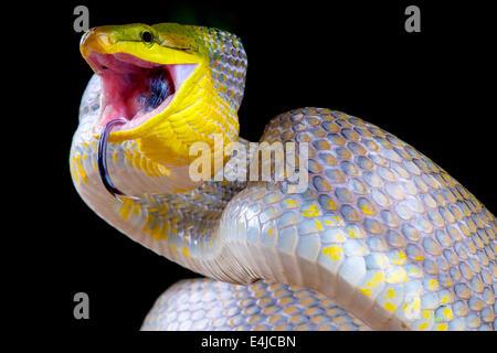 Serpent attaque / Gonyosoma oxycephalum