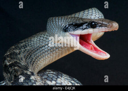 Beauté bleu snake / Orthriophis taeniurus callicyanous,
