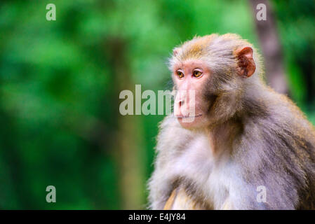 Dans Macaque Guiyang, Chine Banque D'Images