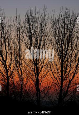 Silhouette de peupliers hiver nues contre coucher du soleil orange, UK Banque D'Images