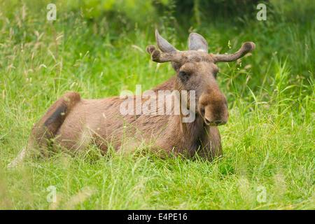 Eurasian les wapitis ou les orignaux (Alces alces), bull orignal avec bois en velours, couché sur un pré, captive, Basse-Saxe, Allemagne
