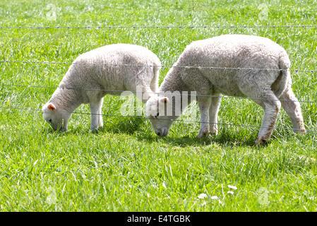 Les Jeunes agneaux bébé dans le champ Banque D'Images