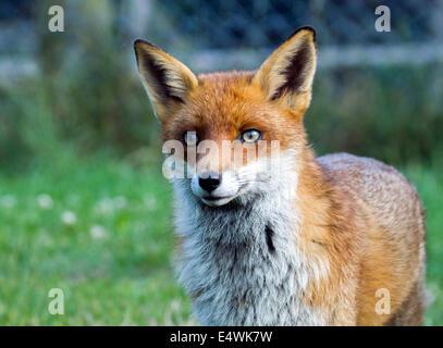 European red fox (Vulpes vulpes): le plus grand des vrais renards Banque D'Images