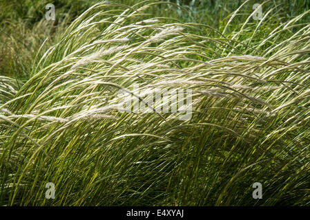 L'herbe Stipa ichu, nom commun d'herbe plumes péruvienne Banque D'Images