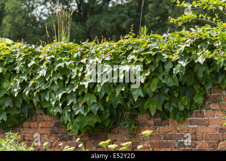 De plus en plus de lierre sur un mur de brique sur un jardin sur une journée ensoleillée Banque D'Images