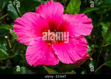 Une rose rouge Fleur Hibiscus dans un Loma Alta California Garden Banque D'Images