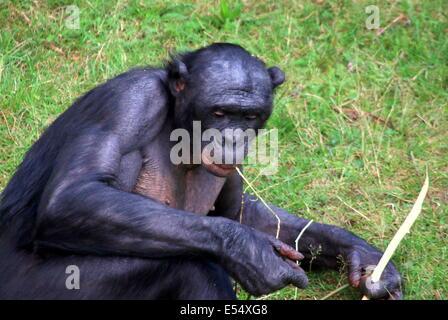 Bonobo ou (anciennement) chimpanzé pygmée (pan paniscus) dans un cadre naturel Banque D'Images