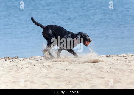 Un chien sur la plage jouant avec une balle dans la bouche. Banque D'Images