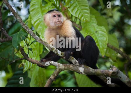 Capuchin blanc, imitateur Cebus, sur une petite île de Lago Gatun, République du Panama.