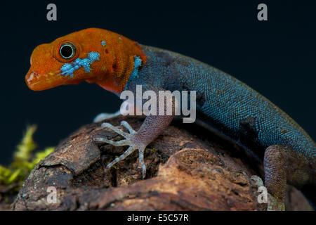 Gecko nain à tête rouge / Gonatodes frontalis fuscus