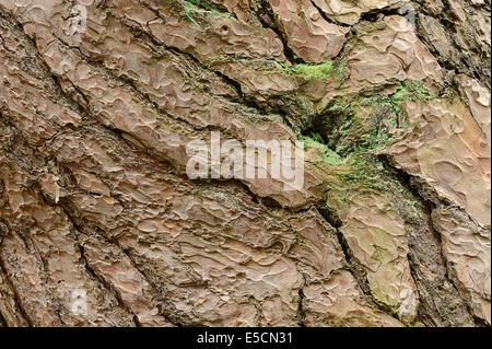 Le pin sylvestre (Pinus sylvestris), l'écorce, Rhénanie du Nord-Westphalie, Allemagne Banque D'Images
