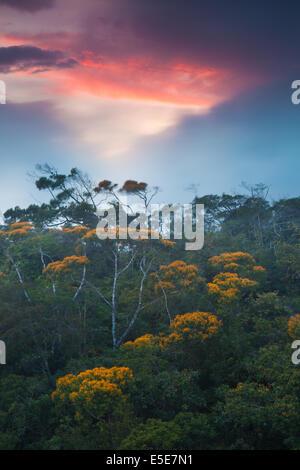 La floraison des arbres peut au coucher du soleil dans la forêt de nuages d'Altos de Campana national park, République du Panama.