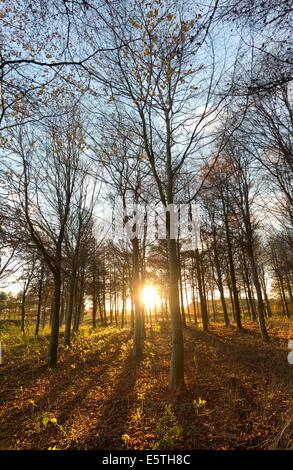 La fin de l'après-midi l'hiver du soleil brillant à travers les arbres dans les bois à Longhoughton, près de Alnwick, Northumberland, England, UK