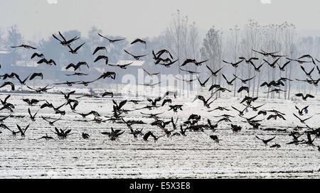 (140807) --Zhengzhou, 7 août 2014 (Xinhua) -- un groupe d'oies sauvages voler au-dessus de la neige-couvert de zones Banque D'Images