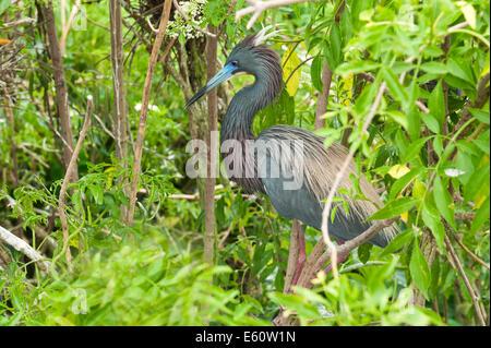Little Blue Heron Egretta caerulea Florida USA Banque D'Images