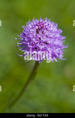Traunsteinera globosa, orchidée globe Banque D'Images