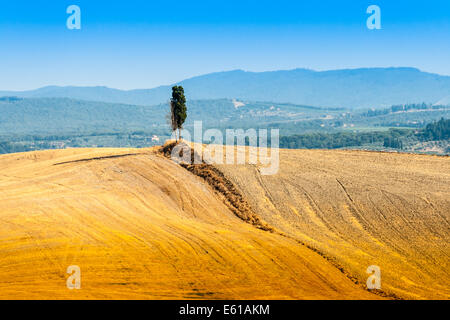 Cyprès Solitaire sur une colline près de Asciano dans Crete Senesi, Toscane, Italie Banque D'Images