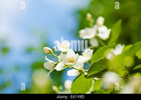 De belles fleurs de jasmin fraîches dans le jardin, macro photographie