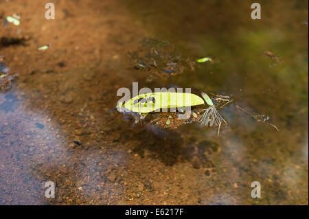Ant coupeuses de feuilles coincées sur une feuille flottant dans un étang Banque D'Images
