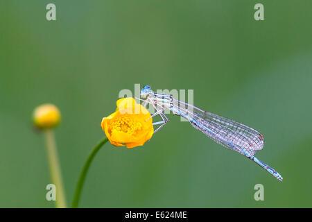 Libellule (Zygoptera) sur fleur de renoncule (Ranunculus), Hesse du Nord, Hesse, Allemagne