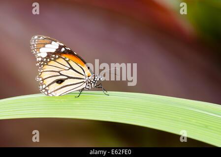 Un papillon au repos Banque D'Images