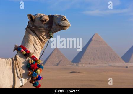 Les chameaux et pyramides, Gizeh, Egypte Banque D'Images