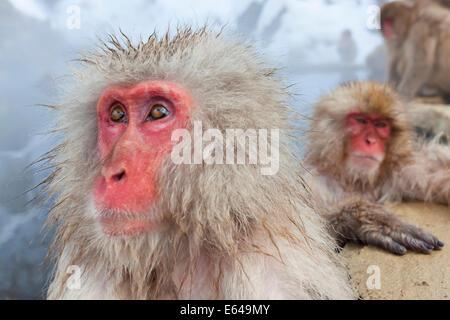 Macaque japonais (Macaca fuscata)/ Snow monkey, Parc National de Joshin-etsu, Honshu, Japan Banque D'Images