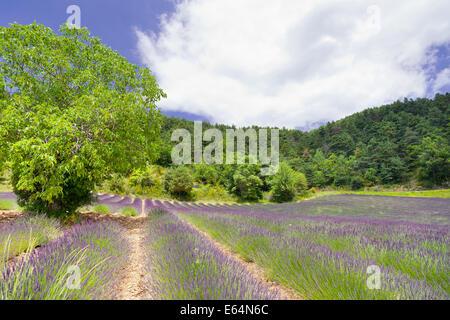 Champ de lavande en Provence. Banque D'Images