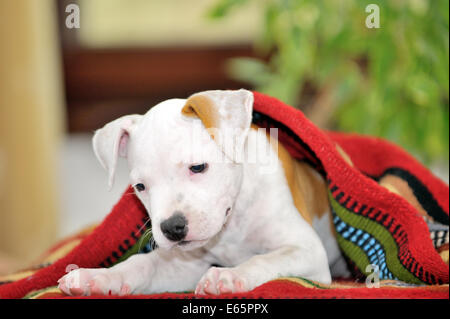 Chiot American Staffordshire Terrier playing