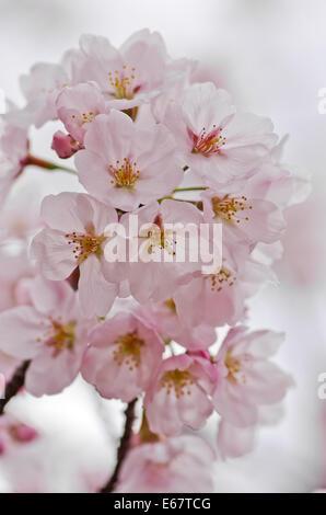 Close-up de cerisiers en fleurs à Miyajima, Japon Banque D'Images