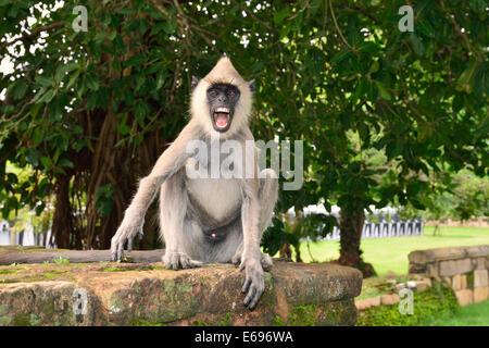 Entelle Langur Hanuman ou gris (Semnopithecus sp.), homme, Anuradhapura, Sri Lanka, Banque D'Images