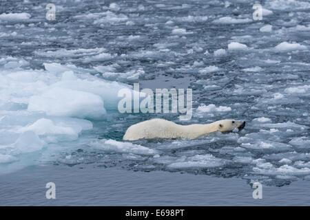 L'ours polaire (Ursus maritimus) Nager dans les glaces, Spitsbergen, Svalbard, îles Svalbard et Jan Mayen (Norvège)