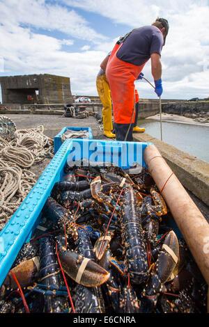 Pêcheurs déchargent homards capturés au large de Craster dans le Northumberland, au Royaume-Uni. Banque D'Images