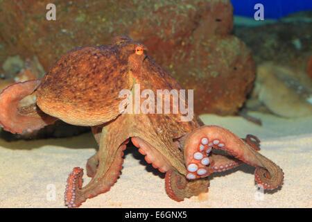 Poulpe commun (Octopus vulgaris) au Japon Banque D'Images