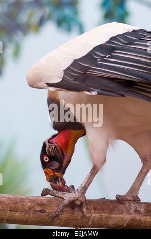 Vautour pape (Sarcoramphus papa) dans le zoo de Lima. Banque D'Images
