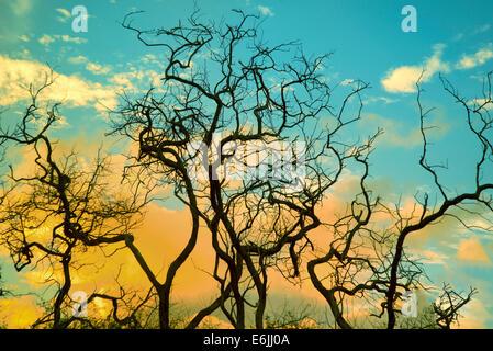 La silhouette des branches d'arbre et le lever du soleil. Lanai, Hawaii. Banque D'Images